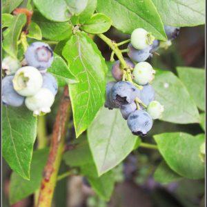 Heidelbeeren Im Garten Anbauen