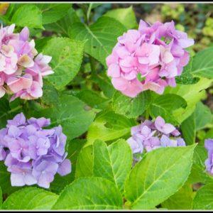 Hortensien Im Garten Pflege
