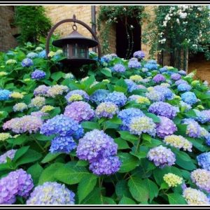Hortensien Im Garten Umsetzen