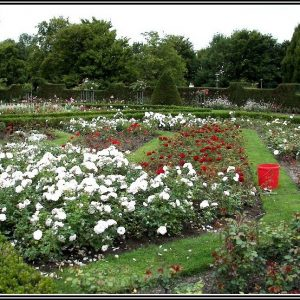 Rosen Im Garten Schneiden