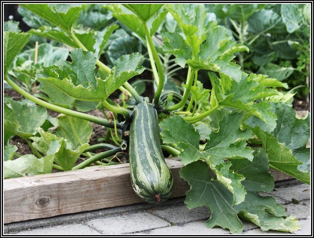 Zucchini Im Garten Anbauen