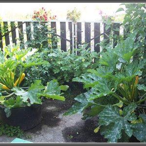 Zucchini Standort Im Garten