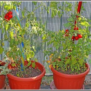 Tomaten Pflanzen Balkon Tipps