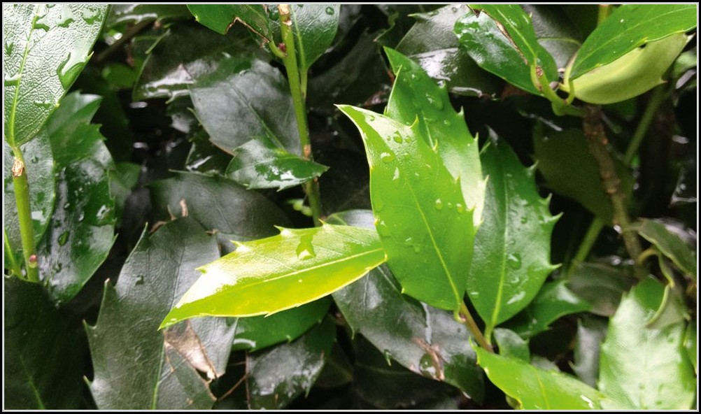 Winterharte Immergrne Pflanzen Balkon