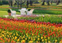 Berlin Britzer Garten Tulipan