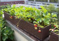 Erdbeeren Auf Dem Balkon Pflanzen