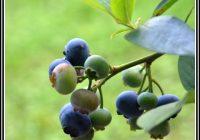Heimische Heidelbeeren Im Garten