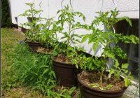 Tomaten Im Garten Tipps