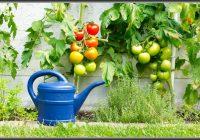 Tomaten Im Garten Werden Nicht Rot