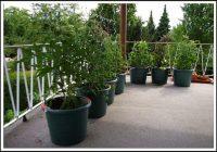 Tomaten Pflanzen Balkon Winter